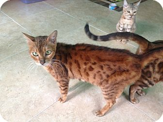 Bengal Cat for adoption in Lantana, Florida - PrimRose