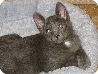 Russian Blue Kitten for adoption in Fountain Hills, Arizona - INDIGO