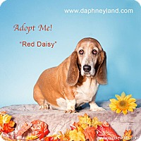 Adopt A Pet :: Red Daisy - Acton, CA