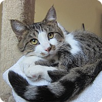 Adopt A Pet :: Joey (cuddle bug) - Roseville, MN