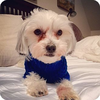 Maltese Dog Rescue Toronto