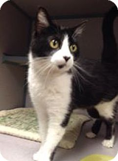 American Shorthair Cat for adoption in Fort Dodge, Iowa - Oreo