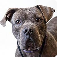 Adopt A Pet :: Shane - Diamond Dog $75 Adoption Fee - Rockwall, TX