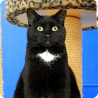Domestic Shorthair Cat for adoption in Austintown, Ohio - Puma