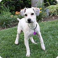 Adopt A Pet :: WESTON - Newport Beach, CA
