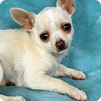 Adopt A Pet :: Tiny Trisha Teacup - St. Louis, MO