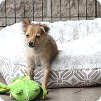 Adopt A Pet :: Pewsey - Woonsocket, RI