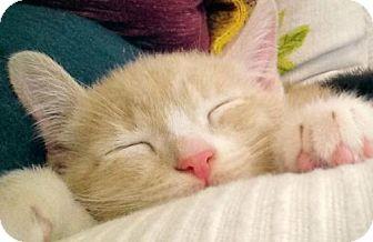 Domestic Mediumhair Cat for adoption in Walnut Creek, California - Franklin