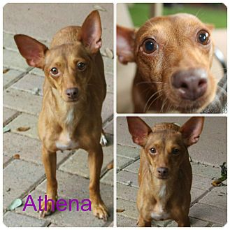 Miniature Pinscher/Chihuahua Mix Dog for adoption in San Antonio, Texas - Athena
