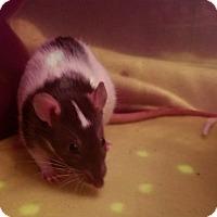 Adopt A Pet :: Ariel & Daisy - Dallas, TX