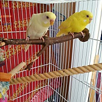 Budgie for adoption in St. Louis, Missouri - Peeps & Wei Wei