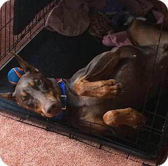 Doberman Pinscher Dog for adoption in Fort Worth, Texas - Sambo