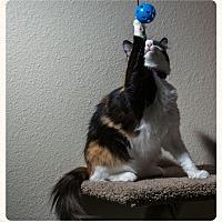 Calico Cat for adoption in Aliso Viejo, California - Gabby