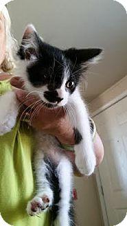Domestic Shorthair Cat for adoption in Lemoore, California - Thomas