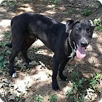 Adopt A Pet :: Scout - Flower Mound, TX