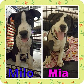 Pit Bull Terrier Mix Dog for adoption in Sacramento, California - Milo and Mia