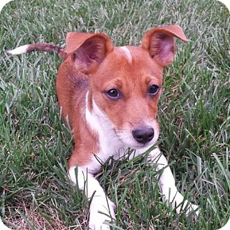 Jack Russell Terrier/Chihuahua Mix Puppy for adoption in Potomac, Maryland - Little Amber