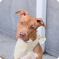 Adopt A Pet :: REECE - Brooklyn, NY