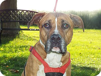 Boxer Mix Dog for adoption in Shelby, Michigan - Sox