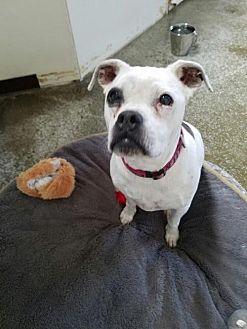 Boxer Dog for adoption in Sparks, Nevada - Sophie Lynn