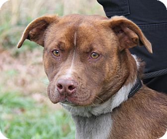 Australian Cattle Dog/Pit Bull Terrier Mix Dog for adoption in Marietta, Ohio - Izzy (Spayed)