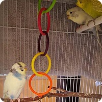 Parakeet - Other for adoption in Bellingham, Washington - KitKat, Snickers, Tootsie Roll