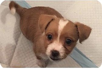 Terrier (Unknown Type, Medium)/Chihuahua Mix Puppy for adoption in Mission viejo, California - June