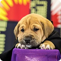 Adopt A Pet :: Hawkeye - West Orange, NJ