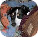 Rat Terrier Mix Dog for adoption in Jacksonville, Florida - Morrocco