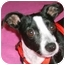 Photo 1 - Boston Terrier Mix Dog for adoption in North Augusta, South Carolina - PIXIE