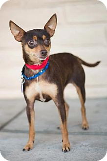 Miniature Pinscher Dog for adoption in Fresno, California - Minnie