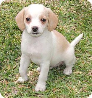Tina | Adopted Puppy | La Habra Heights, CA | Beagle ...