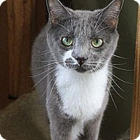 Domestic Shorthair Cat for adoption in Richmond, Virginia - Splash