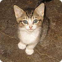 Adopt A Pet :: Lima - Bentonville, AR