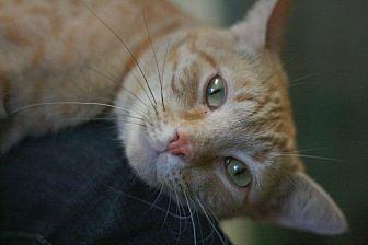 Domestic Shorthair Cat for adoption in Canoga Park, California - Loggins