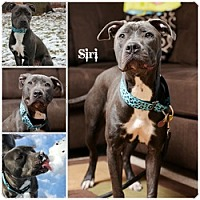 Adopt A Pet :: Siri - Sioux Falls, SD