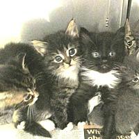 Adopt A Pet :: Kittens - Lincolnton, NC