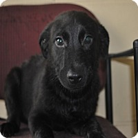 Adopt A Pet :: Bullet-pending adoption - Manchester, CT