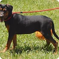 Adopt A Pet :: Bailey - Bardonia, NY