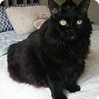 Adopt A Pet :: Midnight - Toronto, ON