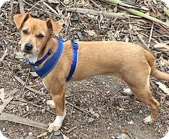 Rat Terrier/Italian Greyhound Mix Dog for adoption in San Francisco, California - Otter