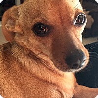 Chihuahua/Terrier (Unknown Type, Small) Mix Dog for adoption in San Marcos, California - Joey