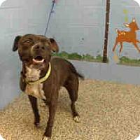 Pit Bull Terrier Dog for adoption in San Bernardino, California - URGENT ON 10/4  San Bernardino