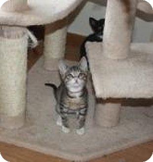 Domestic Shorthair Kitten for adoption in St. Louis, Missouri - Luna