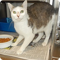 Domestic Shorthair Cat for adoption in Newport, North Carolina - BooBoo