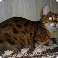 Bengal Cat for adoption in Dallas, Texas - Annie