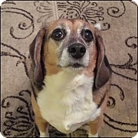 Beagle Dog for adoption in Oakland Gardens, New York - Sherlock