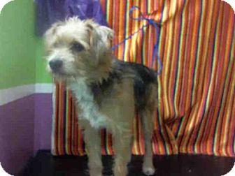 Standard Schnauzer/Border Terrier Mix Dog for adoption in Houston, Texas - A1426785