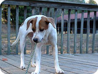 Jack Russell Terrier/Hound (Unknown Type) Mix Dog for adoption in Staunton, Virginia - Bindie - $200