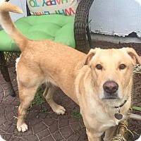 Labrador Retriever Mix Dog for adoption in Houston, Texas - Harrison